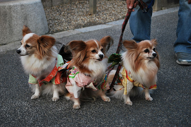 Small dogs in kimonos, because why not? / Flickr Creative Commons, courtesy of What What
